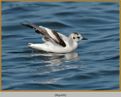 little-gull-30.jpg