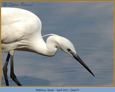 little-egret-57.jpg