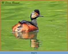 black-necked-grebe-12.jpg