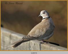 collared-dove-15.jpg