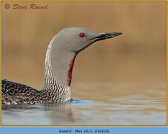 red-throated-diver-103.jpg