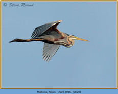 purple-heron-20.jpg