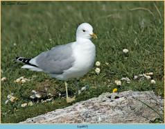 common-gull-47.jpg