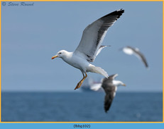 lesser-black-backed-gull-102.jpg