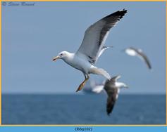 lesser-black-backed-gull-102.jpg