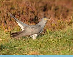 cuckoo-141.jpg