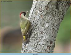 green-woodpecker-20.jpg