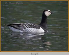 barnacle-goose-13.jpg