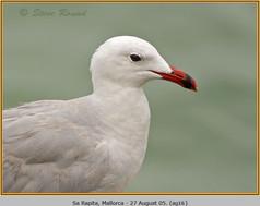 audouin's-gull-16.jpg