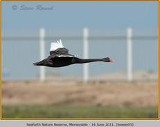 black-swan-05.jpg