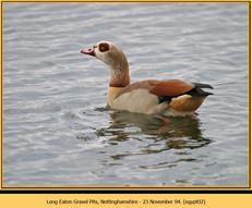 egyptian-goose-02.jpg