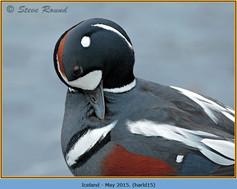 harlequin-duck-15.jpg