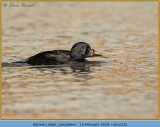 common-scoter-23.jpg
