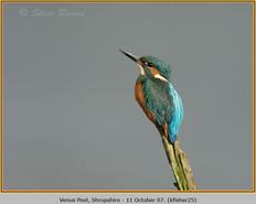 kingfisher-25.jpg