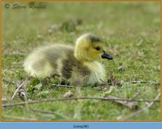 canada-goose-38.jpg