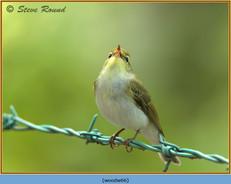 wood-warbler-66.jpg