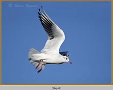black-headed-gull-47.jpg