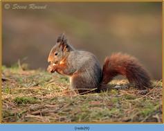 red-squirrel-29.jpg