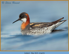 red-necked-phalarope-22.jpg