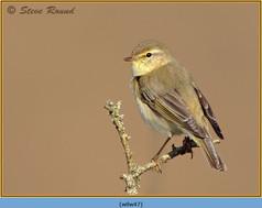 willow-warbler-47.jpg