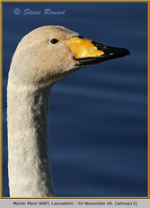 whooper-swan-13.jpg