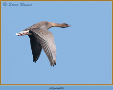 pink-footed-goose-60.jpg
