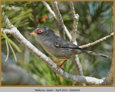 balearic-warbler-04.jpg