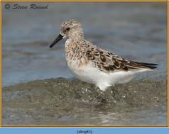 sanderling-83.jpg