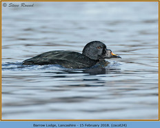 common-scoter-24.jpg