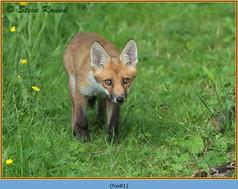 fox-81.jpg