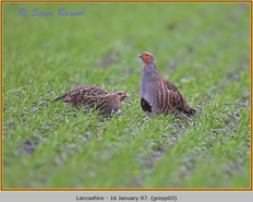 grey-partridge-03.jpg