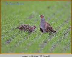 grey-partridge-03.jpg