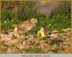 stone-curlew-12.jpg