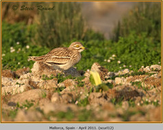 stone-curlew-12.jpg