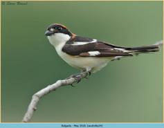 woodchat-shrike-24.jpg