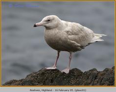 glaucous-gull-01.jpg