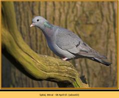 stock-dove-03.jpg