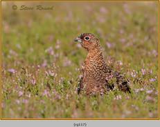 red-grouse-117.jpg