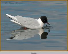little-gull-41.jpg