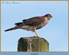 sparrowhawk-53.jpg