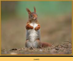 red-squirrel-02.jpg