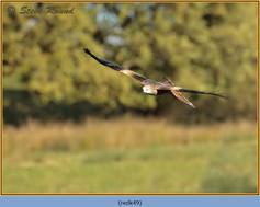 red-kite-49.jpg