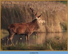 red-deer-59.jpg