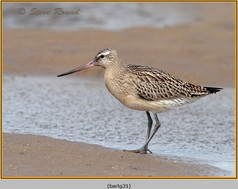 bar-tailed-godwit-31.jpg