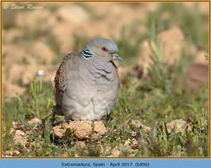 turtle-dove-06.jpg