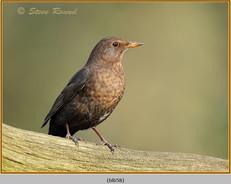 blackbird-58.jpg