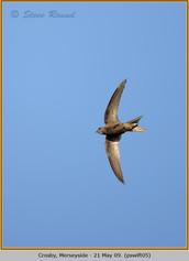 pallid-swift-05.jpg