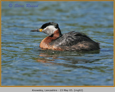 red-necked-grebe-02.jpg