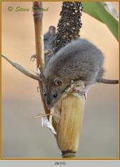 brown-rat-12.jpg