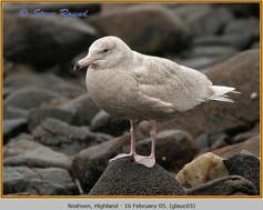 glaucous-gull-03.jpg